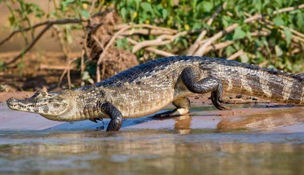 крокодиловий кайман