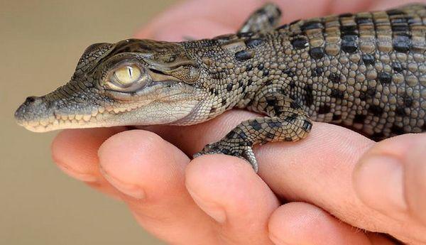 Домашній крокодильчик