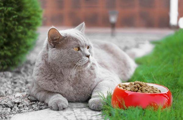 Британська кішка у миски з сухим кормом