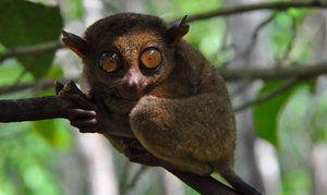 Vtipné zviera tarsier