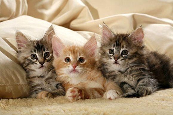 Защо котката се нуждае от родословие?