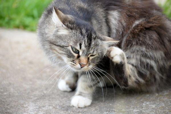 Atopická dermatitída u mačiek