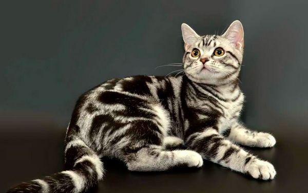 Кішка з сильними лапами