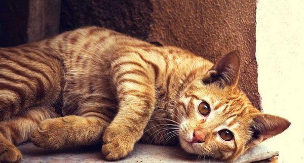 Рудий кіт лежить на боці