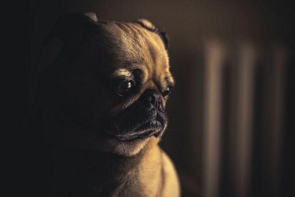 Инверсия на червата при кучета