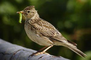 Перелітний птах жайворонок