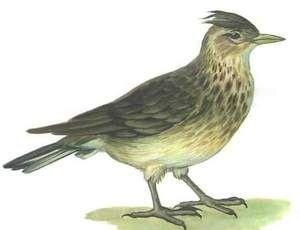 птах жайворонок
