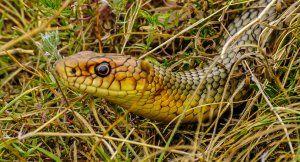 Had žltý-bellied: ako to vyzerá, kde sa vyskytuje, čo žerie, ako ho odstrániť z webu