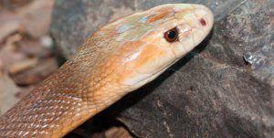 Жестока змия: как изглежда, местообитание, степен на токсичност и първа помощ при ухапване