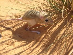 Obyvateľ púšte jerboa: fotografie, obrázky a popis zvieraťa