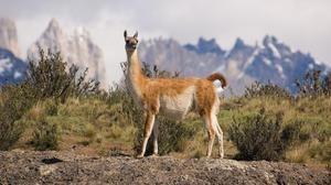 Zvieracia lama: popis, kde to žije, história