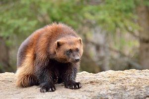 Zvierací rosomák: kde a ako zviera žije bez strachu a výčitiek