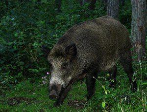 Zvierací kanec: opis diviaka, kde žije a koľko váži