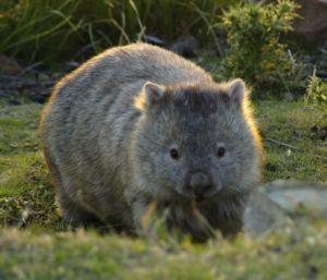 Wombatské zviera: popis, typy a správanie