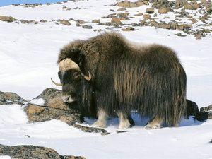 Arktický pižmový vol