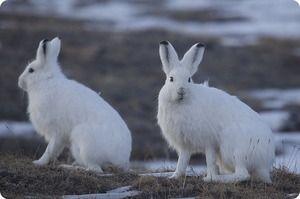 Arktický zajac