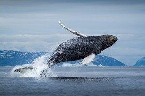 Grónska veľryba