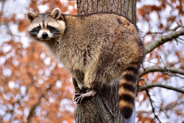 Mýval na strome