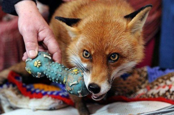 Líška žuje hračku