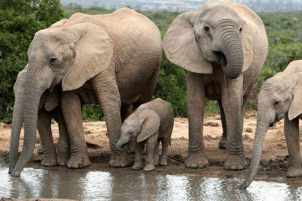 Slony pijú vodu