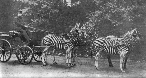 Postroj Zebra