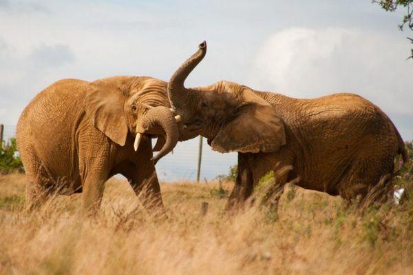 Dva slony