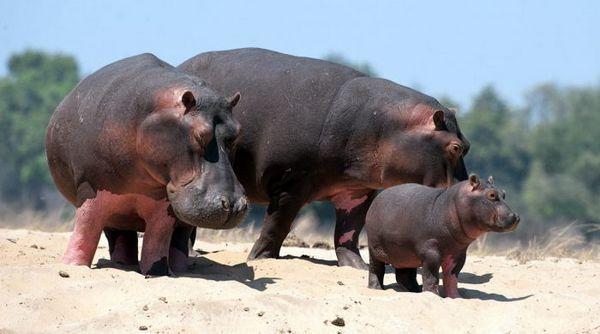 Hrochy s dieťaťom