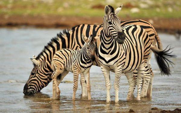 Zebry pri napájadle