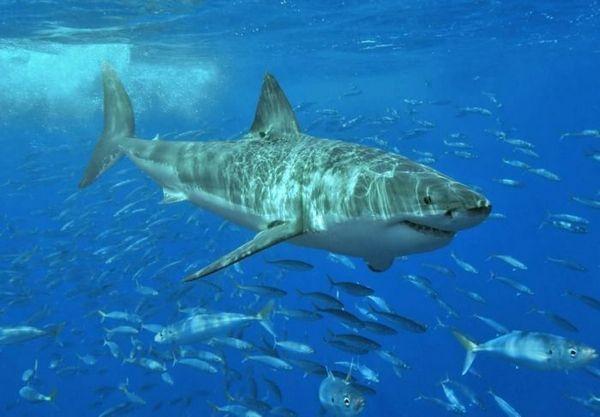 Veľký biely žralok v hejne rýb