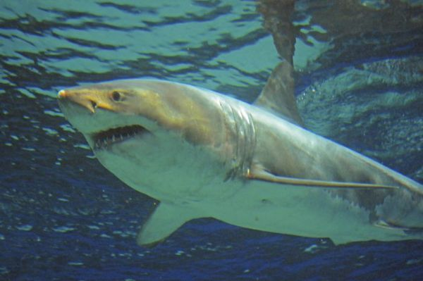 Veľký biely žralok