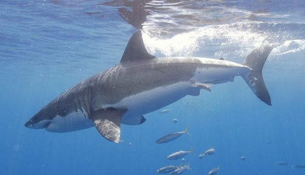Veľký biely žralok vo vode