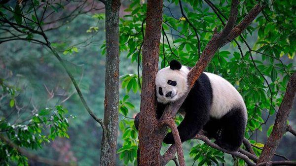 Голяма панда