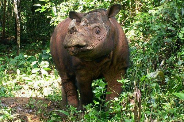 Суматрански носорог