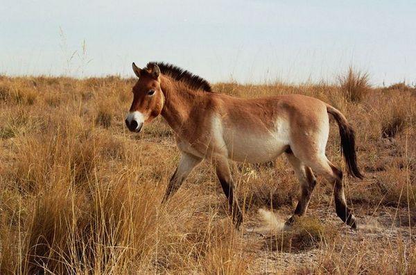 Конят на Пржевалски