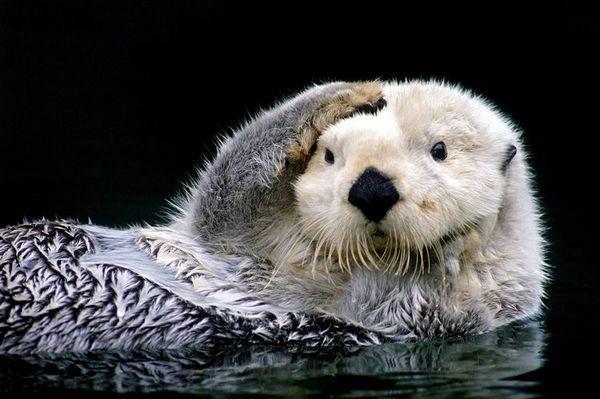 Морска видра (морска видра)