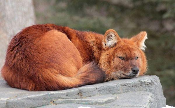 Червен (планински) вълк