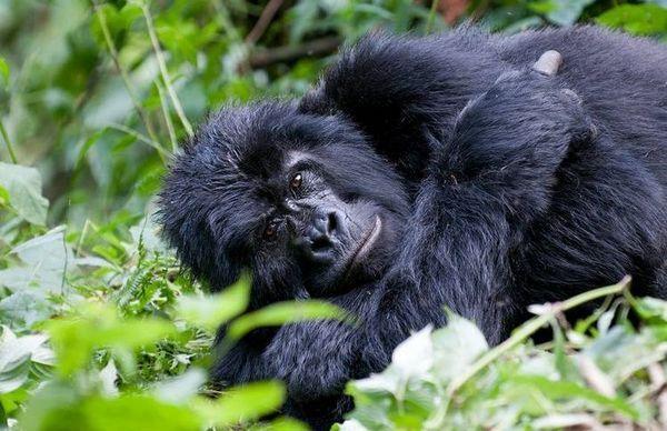 Планинска горила