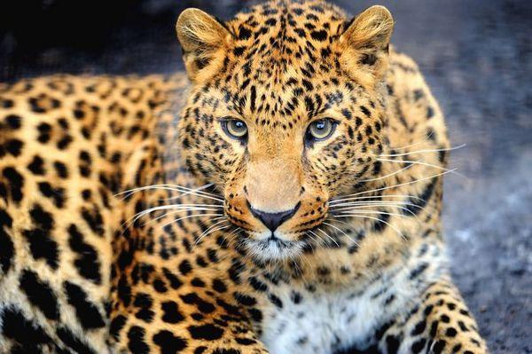 Далекоизточен леопард