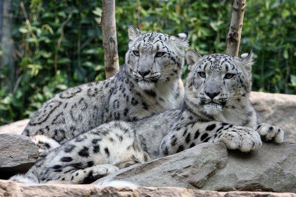 Ирбис (снежен леопард)