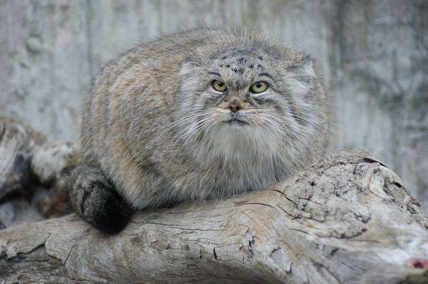 Дворец котка (манул)