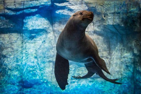 вид голям тюлен