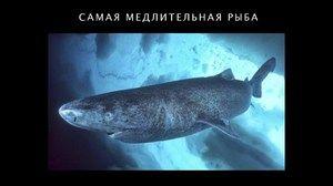 Atlantický polárny žralok - chov