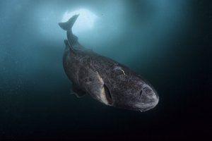Polárne žraloky sa dožívajú až 500 rokov
