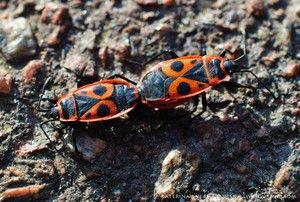 Aká je škoda spôsobená chrobákmi vojakov