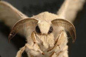 метелик шовкопряда