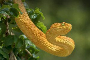 Жовта змія
