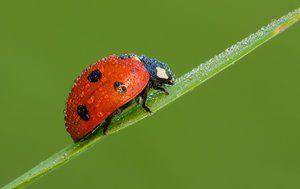 Chrobák lienka: druhy hmyzu, biotop, popis