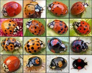 Beruška chrobák - farby