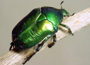 Bronzovka chrobák: vlastnosti, larva a poškodenie zeleného chrobáka