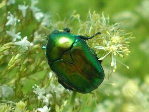 Розмноження жука бронзовки